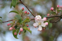 Bachbluete Crab Apple